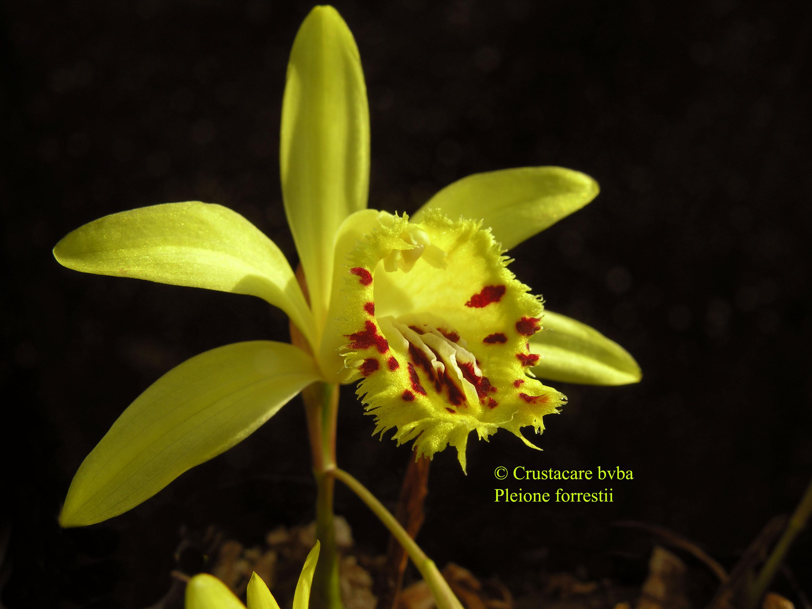 http://www.albiflora.be/files/planten/210/pleione%20forrestii2.jpg