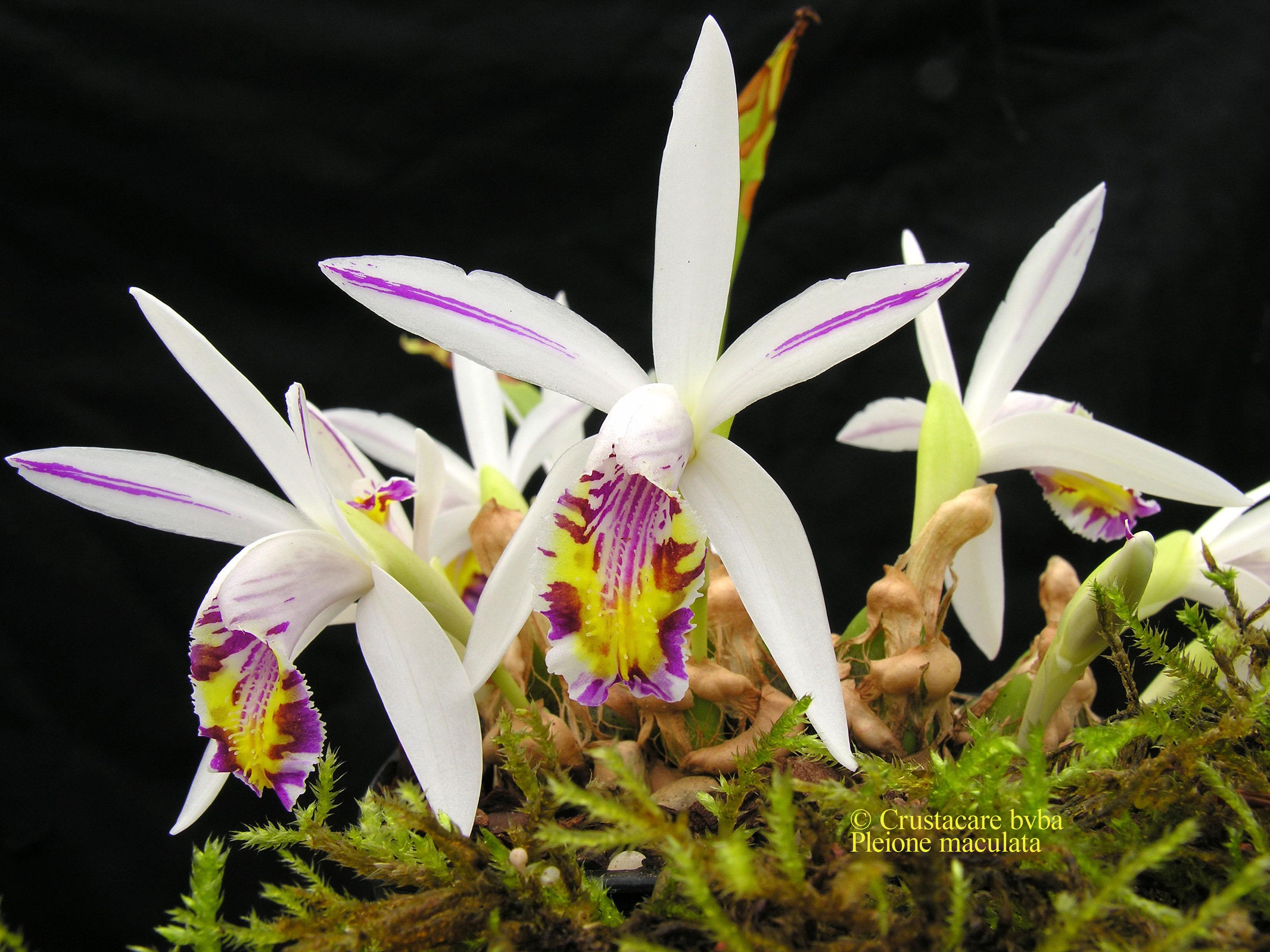 http://www.albiflora.be/files/planten/222/Pleione%20maculata.jpg