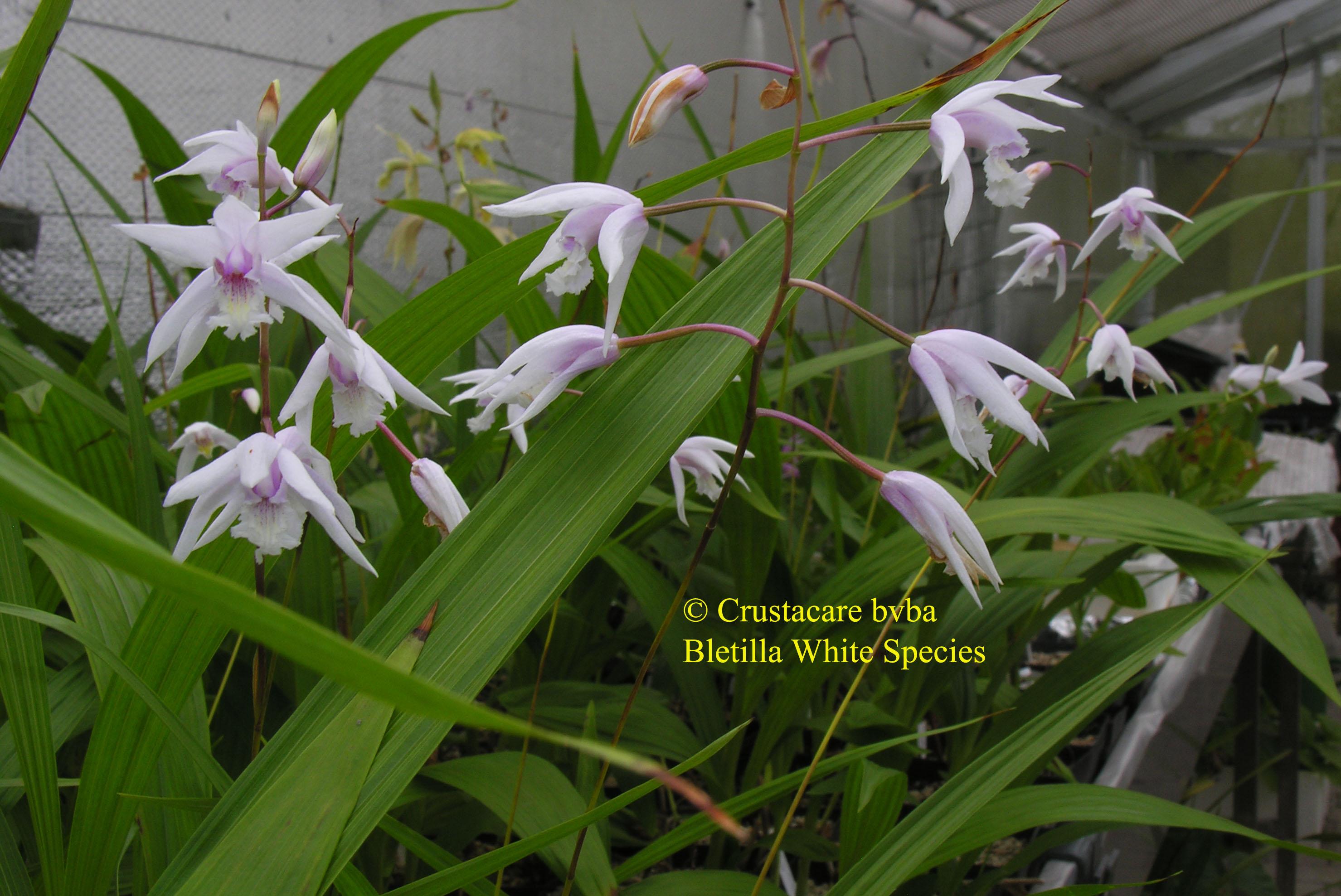 Albiflora Striata Soryu X White Flower Species Albiflora Is A