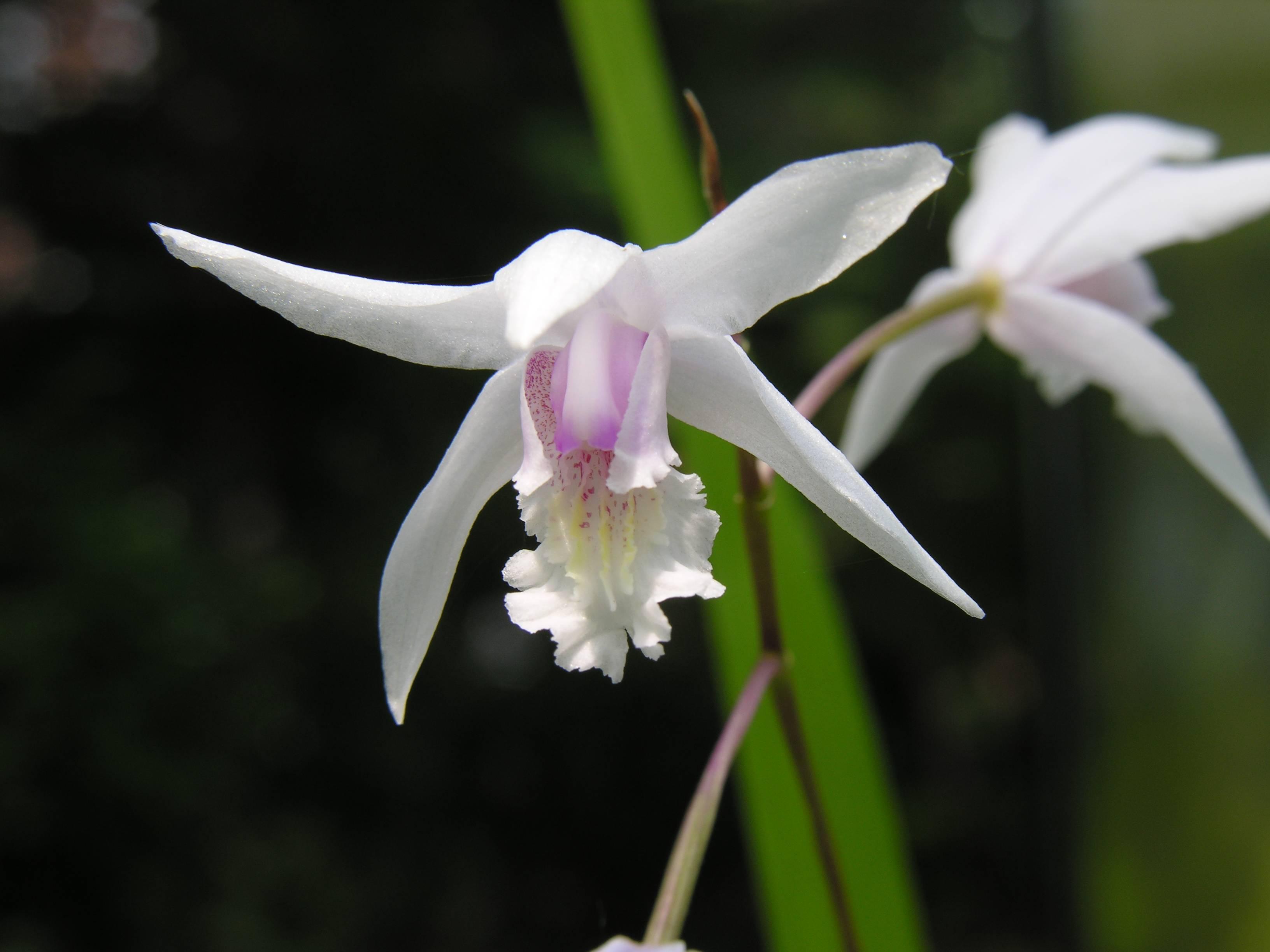 Albiflora White Flower Species Unknown Albiflora Is A